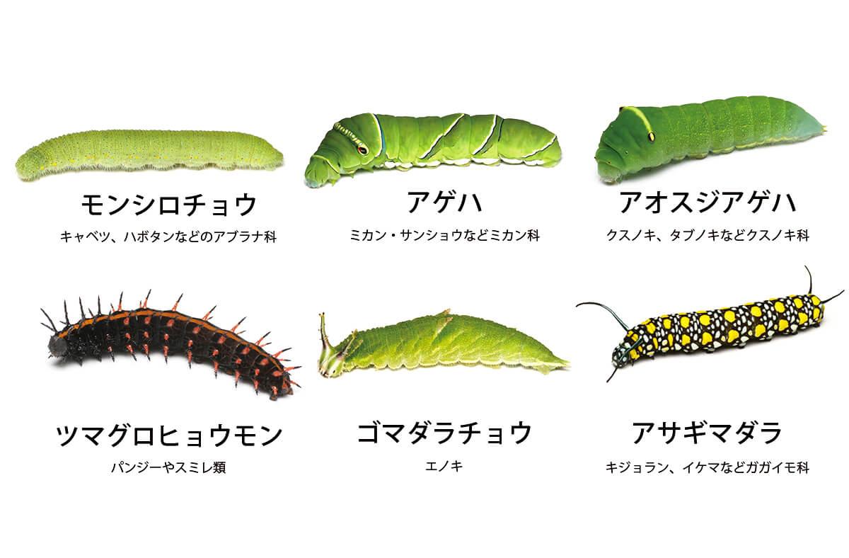 蛾 と 蝶 の 違い