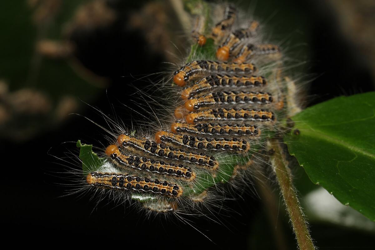 第2回 いもむし けむしの疑問q A あるある昆虫相談室 おしえて 虫のおじさん 連載記事 Buna Bun Ichi Nature Web Magazine 文一総合出版
