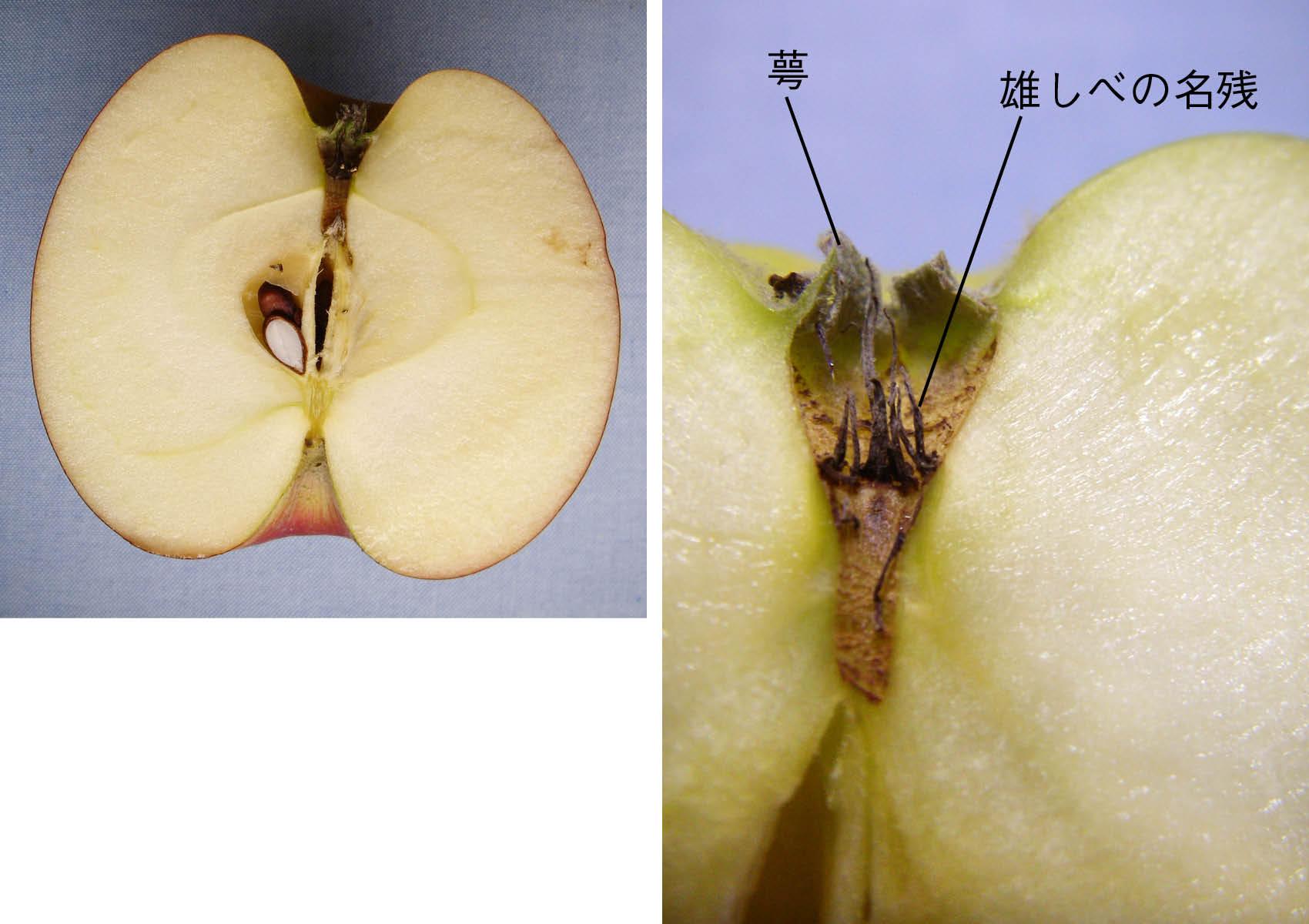 リンゴの芯はじつは果実。知っているとおもしろい花と果実の植物用語学 ...