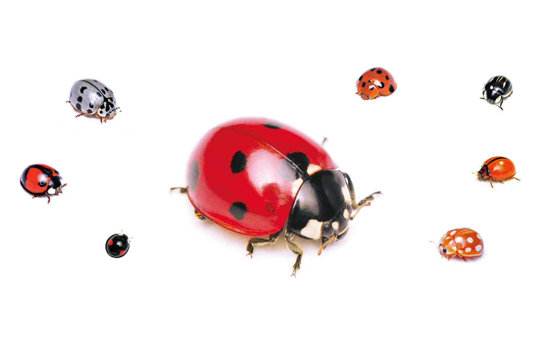 虫 さなぎ てんとう ナナホシテントウの幼虫とサナギ
